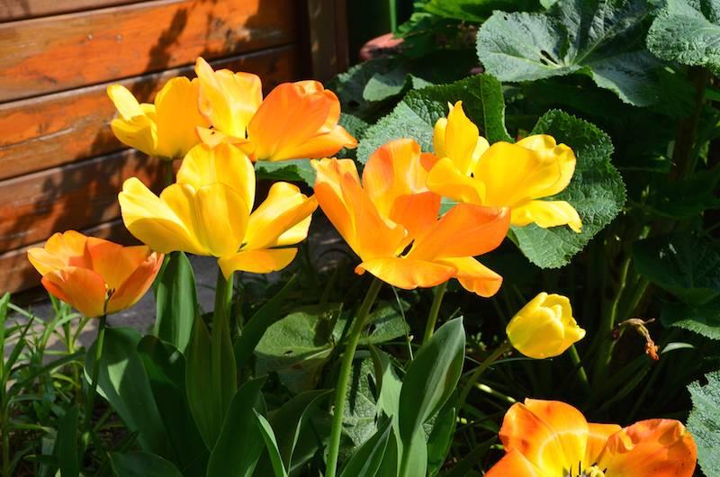Geschichte von Tulpen