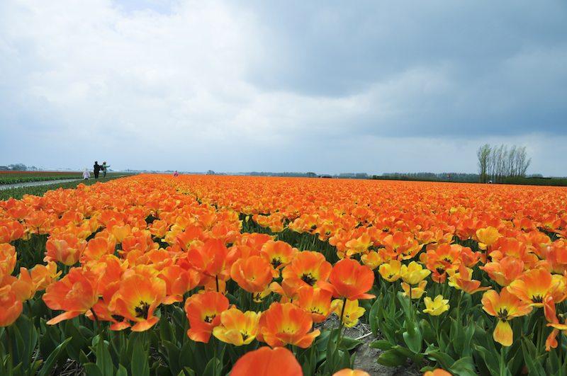 Pflanzen und Pflege von Tulpen